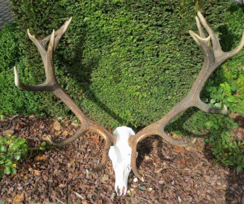 poroże jelenia z góry