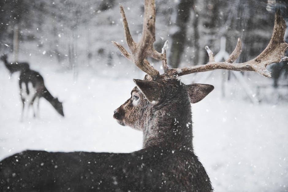 polowanie na jelenie byki